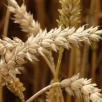 Weizen ungesund
